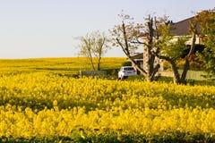 Ett fält av rapsfröt på en irländsk lantgård med dess ljusa gula blommahuvud fångar det mjuka aftonsolljuset med dess mörka skugg Royaltyfri Bild