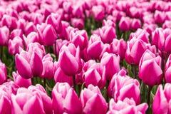 Ett fält av rosa tulpan i Holland Royaltyfri Bild