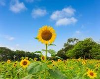 Ett fält av solrosen i en trädgård, de gula kronbladen av spridning för blommahuvud upp ovanför grön sidaträdbakgrund under livli royaltyfri foto