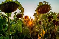 Ett fält av solrosor i Schweiz på solnedgång - 1 Fotografering för Bildbyråer