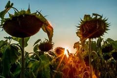 Ett fält av solrosor i Schweiz på solnedgång - 2 Royaltyfri Foto