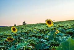 Ett fält av solrosor i Schweiz på solnedgång - 4 Royaltyfria Foton