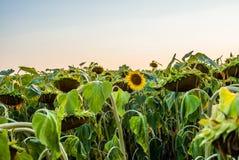 Ett fält av solrosor i Schweiz på solnedgång - 3 Arkivfoton