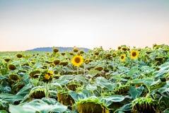 Ett fält av solrosor i Schweiz på solnedgång - 5 Arkivbilder