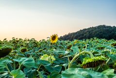 Ett fält av solrosor i Schweiz på solnedgång - 6 Royaltyfria Foton