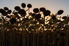 Ett fält av solrosor på solnedgången Arkivbilder