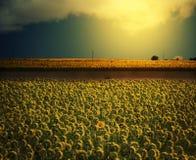 Ett fält av solrosor vänder mot in mot solen, medan en solros vänder mot kameran under en solig himmel Arkivbild