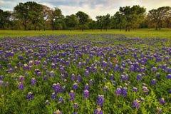 Ett fält av Texas Bluebonnets Royaltyfria Foton