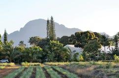 Ett fält av tropiska pinapples som nästan växer jordningen! Royaltyfri Bild