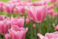 Ett fält av tulpan Holland Michigan för pastellfärgade rosa färger Arkivfoton
