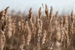 Ett fält av visade upp slutet för träsk det gräs med flera gjorda suddig stjälk arkivfoton