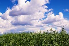 Ett fält med grönt vete på en bakgrund av en blå molnhimmel Arkivbilder