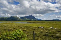 Ett fält med sheeps Arkivbild