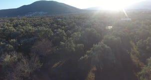 Ett fält mycket av Olive Trees Aerial Footage arkivfilmer