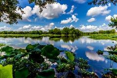 Ett färgrikt brett vinkelskott av den härliga sjön 40-Acre med sommarguling Lotus Lilies, blåa himlar, vitmoln och grön lövverk Royaltyfri Bild
