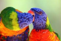 Ett färgrikt par av loris gör en förälskelse att kyssa royaltyfri fotografi