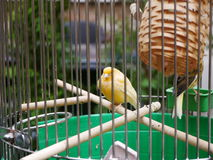 Ett fågelsammanträde i bur Arkivfoto