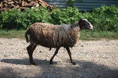 Ett får Royaltyfri Fotografi