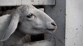 Ett får i svartvitt Arkivfoto
