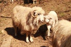 Ett får och det är det lilla lammet arkivfoton