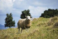 Ett får på en kulle Arkivbild