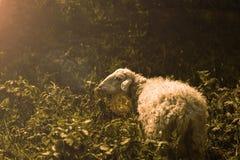 Ett får på löst Arkivbild