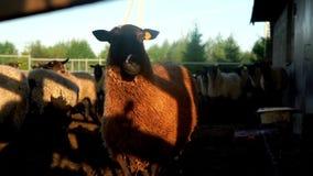 Ett får som in camera står och ser på paddock på den lantliga lantgården Fårhuvud stock video