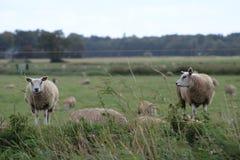 Ett får som håller ögonen på till de andra fåren arkivbilder