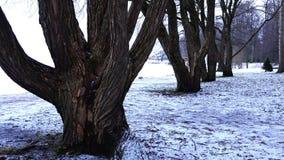 Ett förälskat par går i en vinter parkerar mellan kala trädstammar arkivfilmer