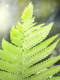 Ett farnblad mot den ljusa strålen Arkivbild