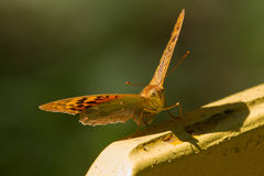 Ett fjärilssammanträde på en bänk Royaltyfri Bild