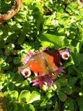 Ett fjärilssammanträde på en blomma royaltyfria bilder