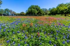 Ett fält av vildblommor för Bluebonnets och för indisk målarpensel nära ett trästaket Royaltyfri Bild