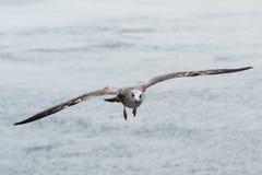 Ett flyg för havsfiskmås in mot kameran royaltyfri foto