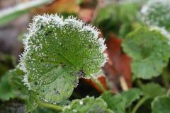 Ett fokuserat grönt blad av jordmurgrönaGlechomahederaceaen har en rimfrostrunda dess langetterade kant tack vare den första fros Arkivbilder