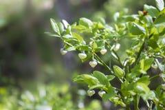 Ett foto av blåbäret, Vacciniumuliginosumen, dagen för skog för blommor på våren den soliga och lösa gröna unga blommande blåbär  royaltyfri foto