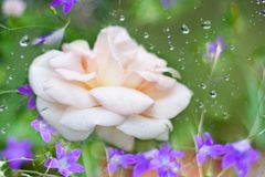 Ett foto av en ros i trädgården royaltyfria bilder