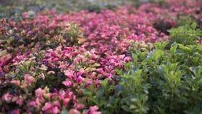 Ett foto av små rosa färg- och lilasidor royaltyfria foton