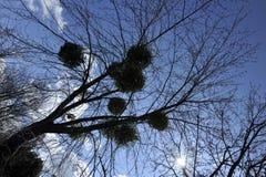 Ett foto som ser upp på en markis av träd mot en bakgrund för blå himmel i en parkera arkivfoto