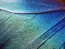 Ett fragment av en vinge av den blåa morphofjärilen, hög förstoring royaltyfri foto