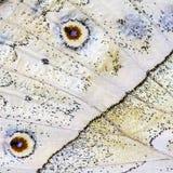 Ett fragment av en vinge av skogpärlemorfjärilen med öga-fläckar Arkivfoton