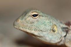 Ett fridsamt ljus - blå ödla som håller ögonen på dig Royaltyfri Foto