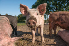 Ett fritt områdesvin med dess näsa som är full av gyttja Royaltyfri Fotografi