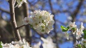 Ett fruktträd som förbluffar blom arkivfilmer
