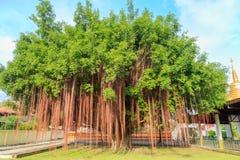 Ett gammalt banyanträd på gräset på templet i Thailand royaltyfri foto