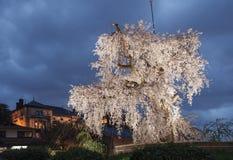 Ett gammalt berömt forntida träd för körsbärsröd blomning på skymning i Kyoto Royaltyfri Fotografi