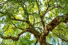 Ett gammalt björkträd med långa filialer i vårtid royaltyfri bild