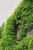 ett gammalt hus som är bevuxet med murgrönan, taket av huset, täckas fullständigt med busksnår arkivbilder