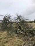 Ett gammalt träd i fältet som förstörs av ett blixtslag Arkivfoto