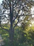 Ett gammalt träd i skymningen arkivbild